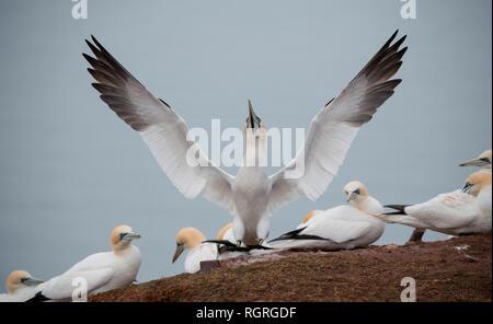Northern Gannets, Heligoland, Schleswig-Holstein, Germany, Europe, Morus bassanus - Stock Photo