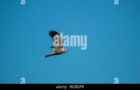 Western Marsh Harrier, Duemmer lake, Diepholz, Lower Saxony, Germany, Europe, Circus aeruginosus - Stock Photo