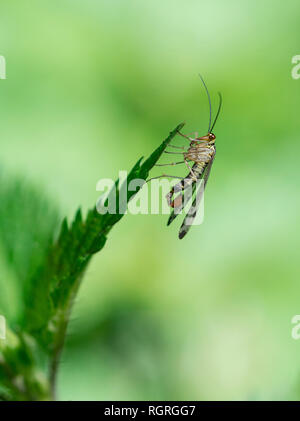 Common scorpionfly, North Rhine-Westphalia, Germany, Europe, Panorpa communis - Stock Photo