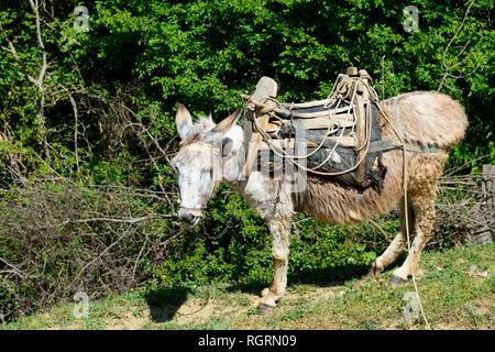 Domestic Donkey with packsaddle, southern Albania, Albania - Stock Photo