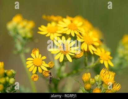 common ragwort, Grevenbroich, North Rhine-Westphalia, Germany, Europe, (Jacobaea vulgaris, Senecio jacobaea) - Stock Photo