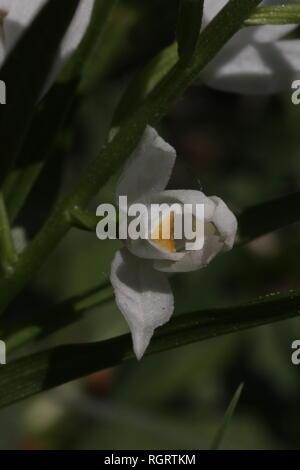 Single flower of Sword-leaved Helleborine (Cephalanthera longifolia), Germany. - Stock Photo