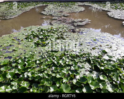 Lake covered with water lilies in bloom and large green leaves. - Stock Photo