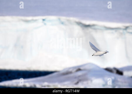 Snow Petrel (Pagodroma nivea) flying next to our ship in the Antarctic - Stock Photo