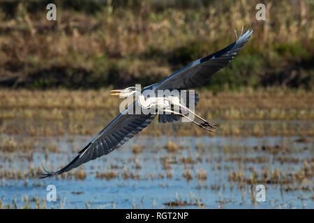 A heron hunting and flying in the lagoon. Adult grey heron (ardea cinerea) on the hunt in natural park of Albufera, Valencia. Natural portrait and nat - Stock Photo