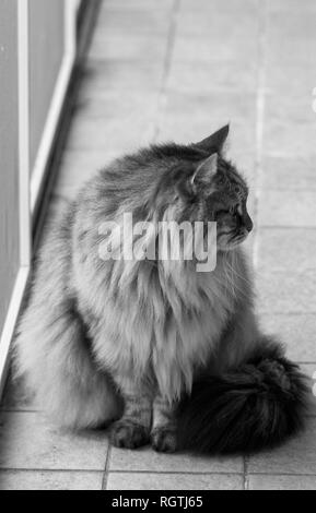 Furry cat of livestock sitting in a garden, siberian breed - Stock Photo