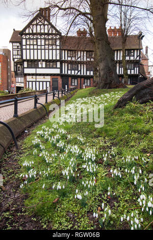 Snowdrops growing in the Holy Trinity Church grounds in Trinity Street in the centre of Coventry - Stock Photo