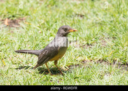 Olive Thrush(Turdus olivaceus) foraging on grass for earthworms. Remnant of worm in beak. Summer, Western Cape, South Africa, - Stock Photo
