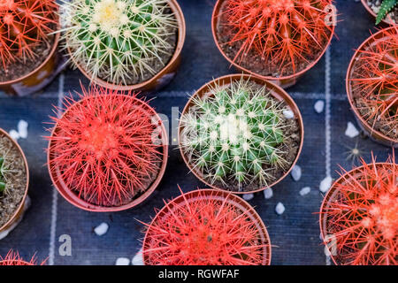 Cactus succulent .Echeveria or rose stone background.Rows of different cacti succulent plants in buckets on sale in garden shop, homeplant and - Stock Photo