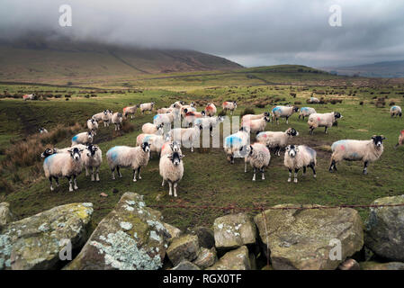 Swaledale sheep graze under a heavy grey Winter sky on upland moorlands in Dentdale, Yorkshire Dales National Park. - Stock Photo