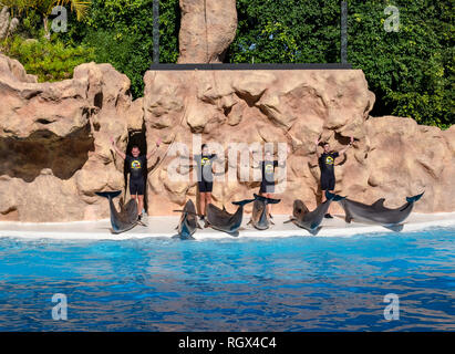 Tenerife, Santa Cruz, Spain - January 17, 2019: Dolphin show in the pool of Loro Parque with trainers teaching them new gestures
