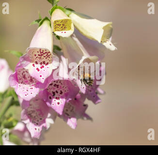 A bumble bee (bombus pascuorum) on a foxglove plant collecting nectar and pollen. - Stock Photo