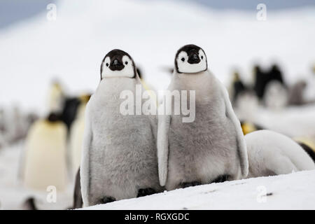 Adorable Emperor Penguin (Aptenodytes forsteri) chicks on sea ice at Snow Hill Island, Antarctica - Stock Photo