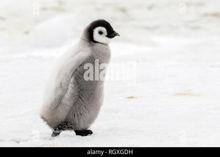 Adorable Emperor Penguin (Aptenodytes forsteri) chicks on sea ice at Snow Hill Island, Antarctica - Stock Photo