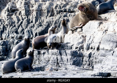 South American Sea Lion / Southern Sea Lion (Otaria flavescens) at the Beagle Channel, Argentina - Stock Photo