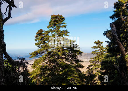 Biosphere Reserve. Natural Park Sierra de las Nieves. Spanish Fir Abies pinsapo. Ronda, Malaga province. Andalusia, Southern Spain. Europe - Stock Photo