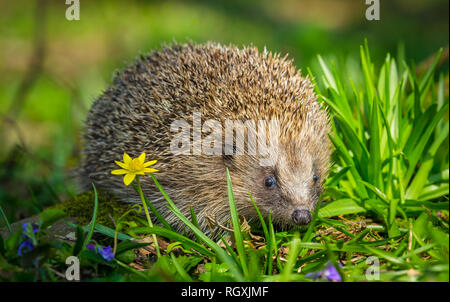 Hedgehog, Erinaceus europaeus, a wild, native, European hedgehog in natural woodland habitat during Springtime with violets and celandine. Wildlife - Stock Photo