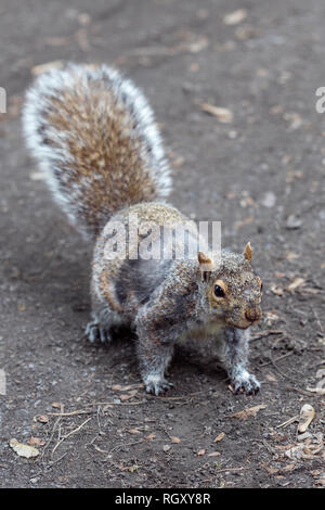 Portrait of a Squirrel in the park - Stock Photo