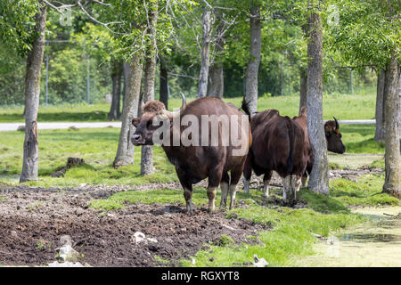 Gaurs standing in the mud. The gaur (Bos gaurus), also called the Indian bison, is the largest extant bovine found in southeastern Asia and the Malay  - Stock Photo