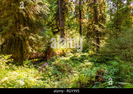 Hoh forest in the olympic peninsula in washington state USA - Stock Photo