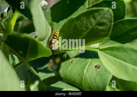 Bee or wasp standing on a plant of beans sucking its flowers, Macro. Close up. - Stock Photo
