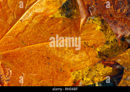 Golden autumn Maple leaves laying on the ground trapped in puddle ice. - Stock Photo