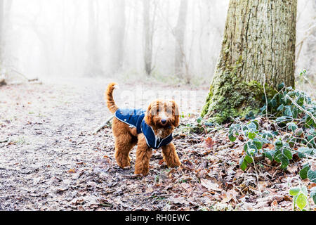 Legbourne Woods, Lincolnshire. 31st Jan 2019. UK Weather: A Frosty, icy morning greets early dog walkers in Lincolnshire, ice, frost, mist, misty Winters morning, Dexter the Cockerpoo, cockapoo enjoying the weather - Stock Photo