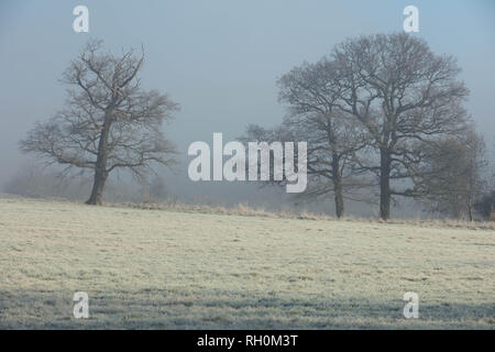 London, UK. 31st January 2019. Bare oak trees against a light blue and misty sky in a field on a frosty and cold morning at sunrise, in Mill Hill, London, UK. Credit: Joe Kuis /Alamy Live News - Stock Photo