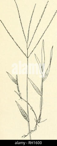 . Bulletin. Gramineae -- United States; Forage plants -- United States. 55. Please note that these images are extracted from scanned page images that may have been digitally enhanced for readability - coloration and appearance of these illustrations may not perfectly resemble the original work.. United States. Division of Agrostology. Washington, D. C. : The Division - Stock Photo