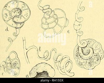 . Bulletin. Mycology; Fungi; Fungi. CHAMPIGNONS DE LA GUADELOUPE. 185 sâtres, éparses ou confluentes, 2-15 millim. de diam., sèches. Réceptacles épiphylles, blanchâtres, arrondis, petits (1/3 de millim.), d'abord sous la cuticule, puis largement ouverts. Spores excessivement nombreuses, incolores, linéaires, cour- bées, aiguÃ«s aux deux extrémités, obscurément guttulées, 30-35 X 1,5 p. Faux périthèces très réduits, formés par le tissu de la feuille à peine modifié. ffobi Berk. H. Ackermannii n. sp. â Sur du bois pourri. Réceptacles tuberculiformes, blanchâtres, hémisphéri - Stock Photo