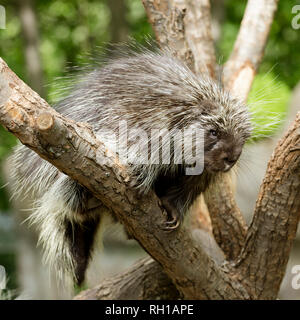 North American Porcupine (Erethizon Dorsatum) climbing a tree, also known as the Canadian Porcupine or common porcupine - Stock Photo