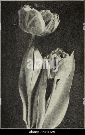 . Bulbs and seeds : autumn 1913. Seeds Catalogs; Bulbs (Plants) Catalogs; Vegetables Seeds Catalogs. D. M. FERRY & CO., DETROIT, MICH. DOUBLE TULIPS The double varieties are generally later in blooming than the single sorts and the flowers usually last much longer in bloom than those of single earh- tulips. Their very large peony-like flowers in brilliantly contrasting colors ser'e to prolong very distinctly the season of gorgeous beauty in the spring flov/er garden. Those sorts marked A, indicate first early and B, second early flowering va- rieties. The letter rf, m or t (dwarf, me- diu - Stock Photo