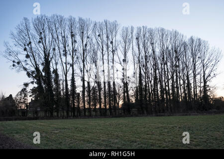 Herefordshire, UK. A row of poplar trees on a winter evening, with clumps of mistletoe growing on their branches - Stock Photo