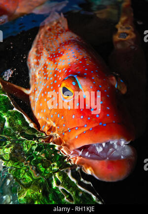 Expensive Red Snapper fish (Lapu-Lapu) caught around Cuyo island, Palawan, Philippines and transported to Manila, to be sold as live fish - Stock Photo