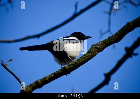 a magpie sitting in a tree with blue skies london england - Stock Photo