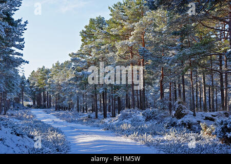 CULBIN FOREST FORRES MORAY SCOTLAND WINTER SNOW ON A FORESTRY TRACK AND SCOTS PINE TREES - Stock Photo