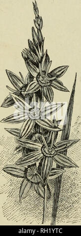 . Bulbs and tuberous-rooted plants; their history, description, methods of propagation and complete directions for their successful culture in the garden, dwelling and greenhouse. Bulbs (Plants). ^74 BULBS AND TUBEROUS-KOOTED PLAINTS. SNOWFLAKE. See Leucoium, Page 169. SPARAXIS. These were formerly included in the genus Ixia (Page 1G6), and bear a close resemblance to them, the main points of difference being that the Sparaxis are of more compact habit of growth, the flowers more bold, and some- what larger, and the flower spikes are not more than half as high, rarely growing more than six inc - Stock Photo