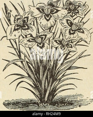 . Bulbs and plants : autumn 1903. Bulbs (Plants) Catalogs; House plants Catalogs. 14 CURRIE BROS., MILWAUKEE, WIS.. PEACOCK IRIS. Ixia. The Ixia is not as generally known as it deserves. Its little star-shaped flowers are unassuming, hut very pretty and very interesting. They present al- most every known color—three or four difierent hues appearing in almost every flower. It is best adapted for pot-culture, and for effect several bulbs should be planted in the same pot. Each. Doz. 100 Mixed Varieties 2 15 85 Leucojum (Snowflake). Vernum—(Spring Snowflake)—One of the earliest spring flowers, wi - Stock Photo