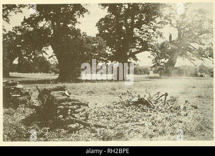 . British journal of entomology and natural history. Natural history; Entomology. 86 BR. J. ENT. NAT. HIST., 2: 1989. Windsor Great Park, 5.vii.88, showing the usual fate of a fallen oak boughâa heap of logs and a smouldering fire. Photo: J. A. Owen Mr P. Waring showed some larvae of the dingy footman, Eilema griseola Hiibn. found amongst piles of cut fen vegetation at Woodwalton Fen during an unsuccessful search for larvae of the marsh moth, Athetis pallustris Hiibn. He also showed a series of colour transparencies on the conservation of the Essex emerald, Thetidia smaragdaria F., a species p - Stock Photo