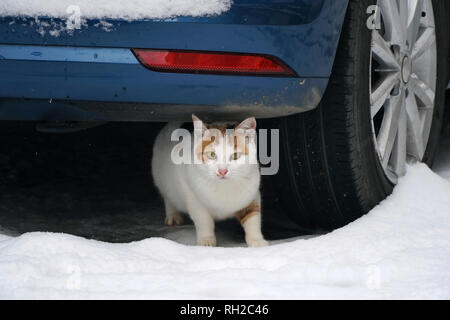 Beautiful stray cat under a car in a snowy winter day - Stock Photo