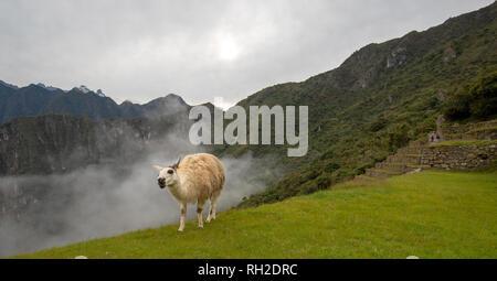 Llama at Machu Picchu in Peru South America - Stock Photo