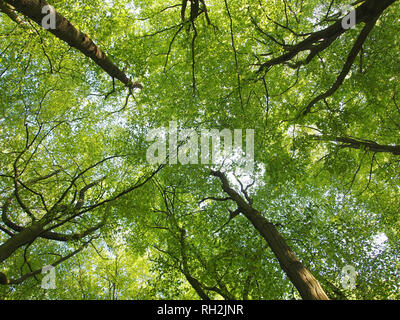 Beech tree canopy showing what is known as 'crown shyness' in the tree tops. Young beech leaves with backlight. - Stock Photo