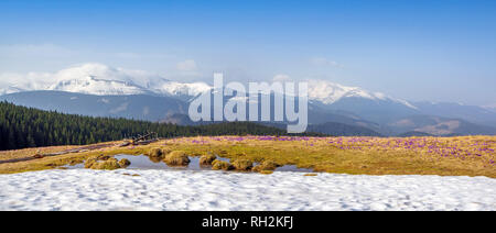 Spring snow melt and in the Carpathian valleys grow beautiful alpine flowers crocuses, they are also Geyfelya, primroses, mountain landscape, wide pan - Stock Photo