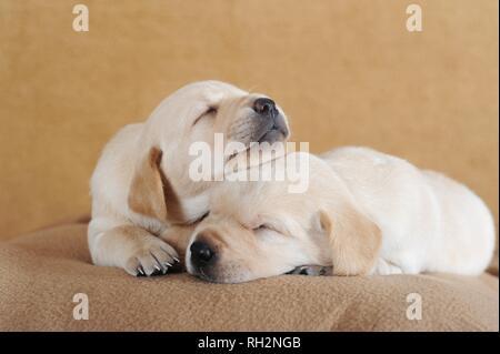 Labrador Retriever, yellow, puppies 3 weeks, sleeping on blanket, Austria - Stock Photo