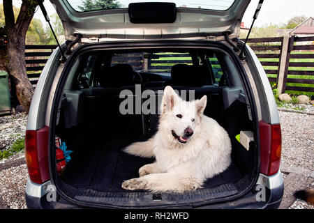 Big white Swiss Shepherd in the car  Carrying dog in the car
