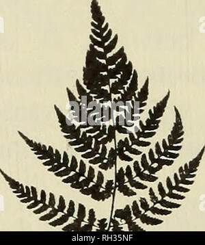 . The British fern gazette. Ferns. 10 BRITISHFERNGAZETTE:VOLUME10PART1(1968) green, flat, smelling of cumarin. Indusia glandular at edges; sori with many abortive sporangia. Spores rugulose on drying with scattered spinnules [see Plate lie, d]. In the Moore herbarium at Kew two sheets labelled Lastrea dilatata var. Clarkei Moore [Oban, Donolly wood, in several places, D. Clark No. 28; Bute 1869 Miss E. Liddell] fit the above description. Other specimens seen recently that would repay further investigation are: Corley's collections from Squr an Ulaidh and Ormaig woods near Oban, Argyll; plants  - Stock Photo