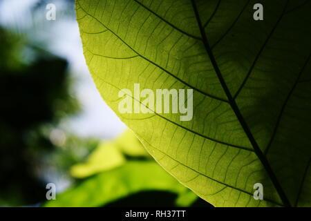 Beautiful veins of a teak shining through bright summer light - Stock Photo