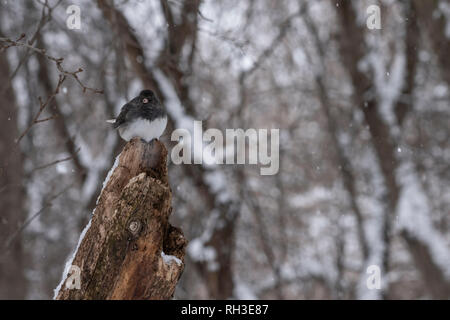 A Dark-eyed junco perches on a dead branch - Stock Photo