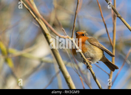 Robin Redbreast Erithacus rubecula perched on tree - Stock Photo