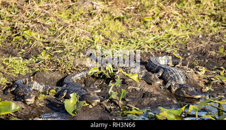 Group of small american alligators basking - Alligator mississippiensis - Stock Photo